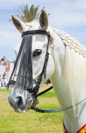 show horse: Show horse Stock Photo