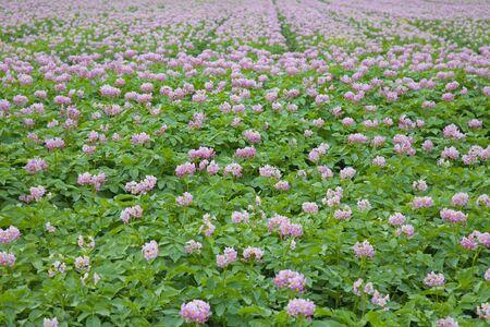 field of flowering potato plants photo