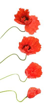 opening red poppy, Stock Photo - 13713211