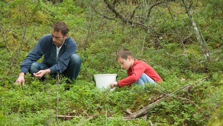 bilberries: father and son picking bilberries in a northern forest Stock Photo