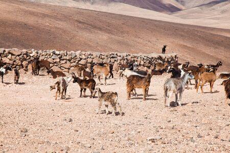 badland: goats of Fuerteventura, Canary Islands