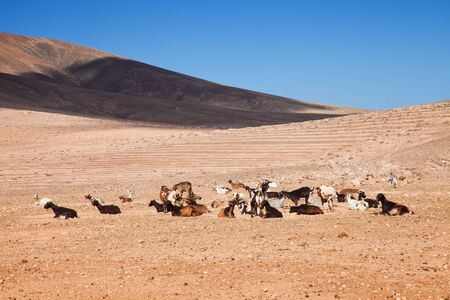 goats of Fuerteventura, Canary Islands photo