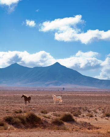 horses of Fuetreventura, Canary Islands photo