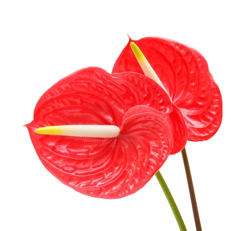 red anthurium (Flamingo Flower; Boy Flower) isolated on white Stock Photo - 14095112
