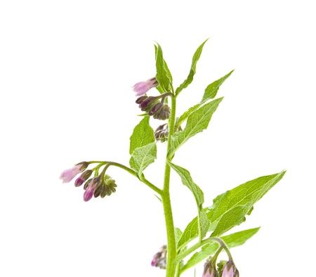 symphytum officinale: fioritura consolida erba isolato su bianco