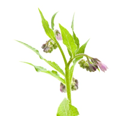 flowering comfrey (Symphytum officinale) herb; isolated on white