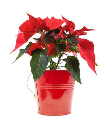 flor de pascua: fresca hermosa flor de pascua verde y rojo (Euphorbia pulcherrima); plantas aisladas sobre fondo blanco;