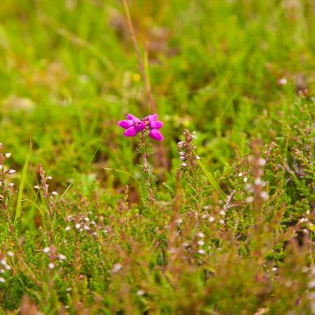erica: flowering Erica