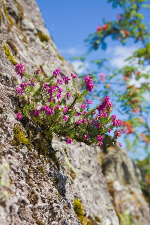 Scotland  in summer, heather flowering Stock Photo - 15048065