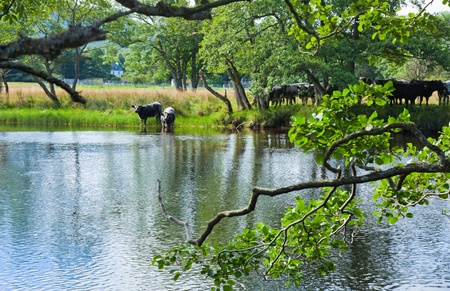 Cattle drinks from the river Lochay, near Killing, Scotland Stock Photo - 15048071