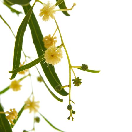 wattle: Acacia branches with flowers isolated on white Stock Photo