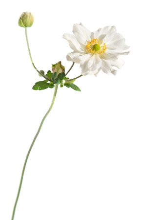 white japanese anemone isolated on white photo