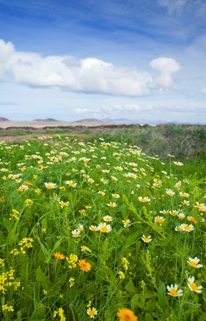Chrysanthemum coronarium bloom on Fuerteventura after rains of late autumn photo