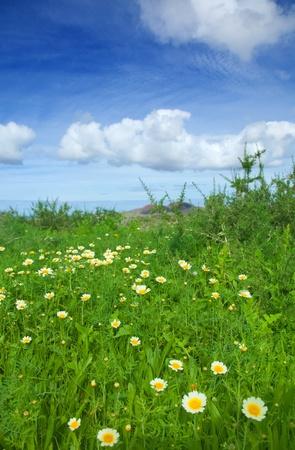 coronarium: Chrysanthemum coronarium bloom on Fuerteventura after rains