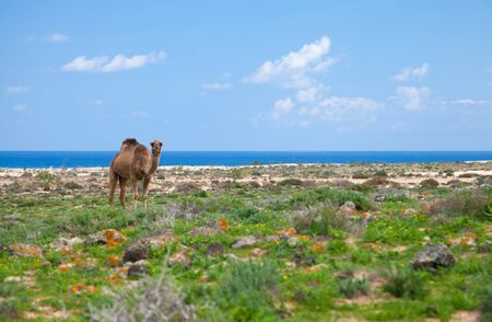 dromedary enjoying greens of winter on Fuerteventura, sand dunes and ocean in the background photo