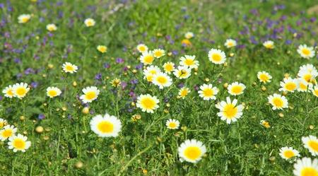echium: garland chrysanthemum and Echium bonnetii