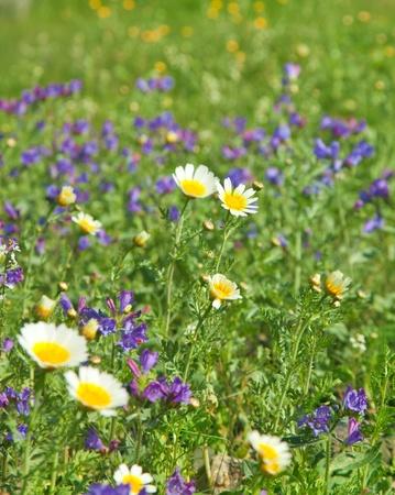 echium: natural background of flowering garland chrysanthemum and Echium bonnetii