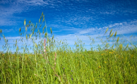 canarias: Field of Avena canariensis, endemic to Canarias, under mackerel sky