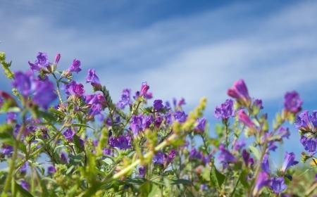 echium: flowering Echium bonnetii, plant endemic to Canary Islands Stock Photo