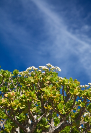 crassula ovata: Flowering Crassula Ovata against blue sky Stock Photo