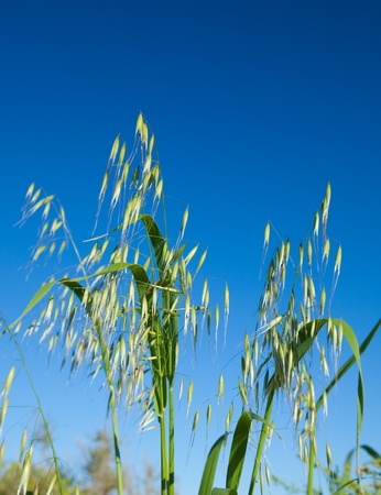 canariensis: Avena canariensis, wild oats endemic to Canary Islands Stock Photo