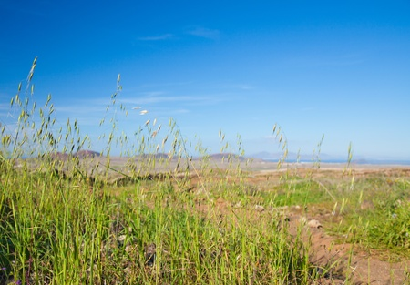 wild canary: Avena canariensis, wild oats endemic to Canary Islands Stock Photo