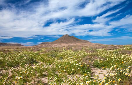inland northern Fuerteventura, garland Chrysamthemum flower after winter rains around Montana de la Mareta photo