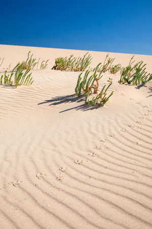 sand and wind pattern on  dunes, euphorbia (tabaiba) plants and birds footprints photo