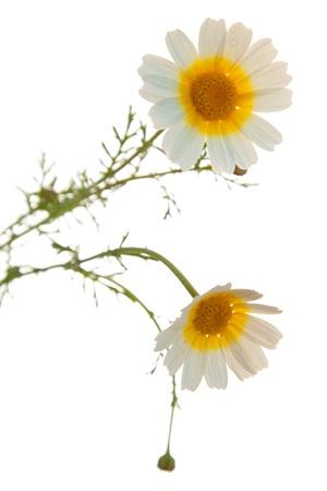 coronarium: garland chrysanthemum, Chrysanthemum coronarium or Leucanthemum coronarium, also known as chrysanthemum greens or edible chrysanthemum,