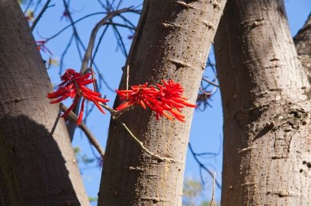 erythrina: flowering Erythrina, coral tree or flame tree Stock Photo