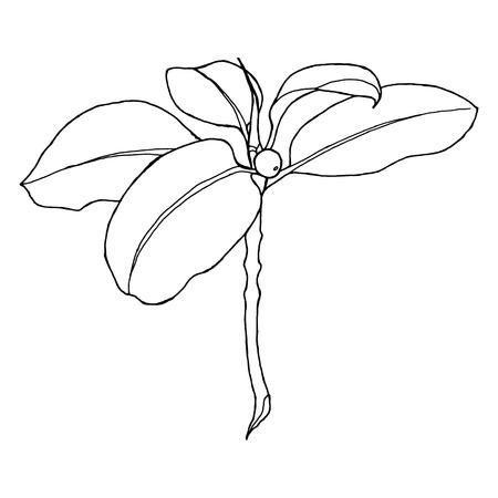 feigenbaum: Hand-Zeichnung eines Feigenbaums Zweig mit weichen Linien