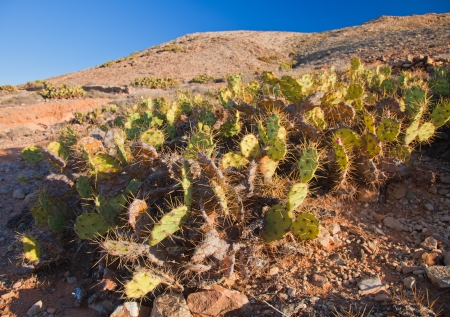 buttom: Fuerteventura, opuntia cactus at the buttom of mount Tindaya