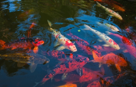 natural background of pond with koi carrp photo