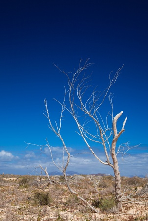Fuerteventura, dry tree on the edge of the sand dunes