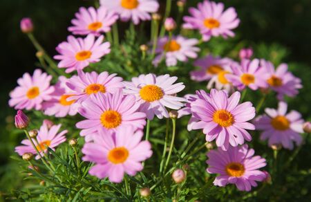 natural background of marguerite flowers