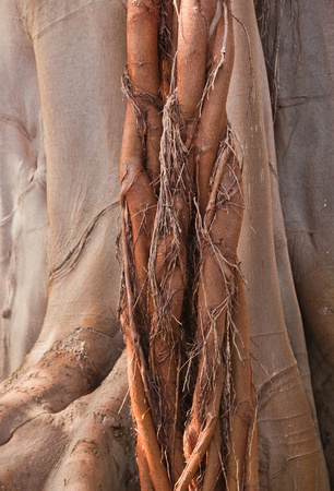 aerial roots: aerial roots of Ficus macrophylla