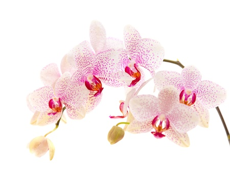 orchid branch: white and magenta phalaenopsis orchid isolated on white Stock Photo
