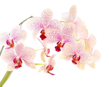 hybridization: white and magenta phalaenopsis orchid isolated on white Stock Photo