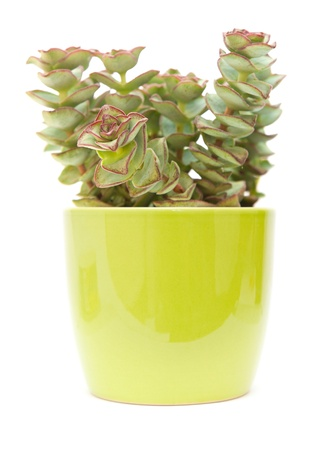 small echeveria plant in a green  pot, isolated on white photo