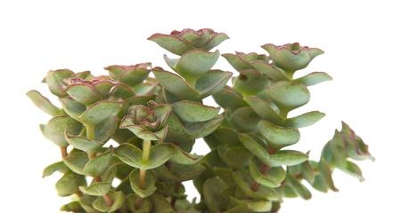 small echeveria plant isolated on white photo