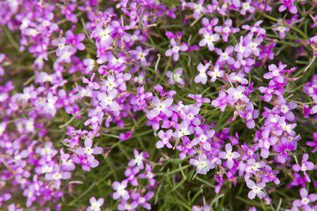wallflower: flowering matthiola bolleana, canarian wallflower Stock Photo