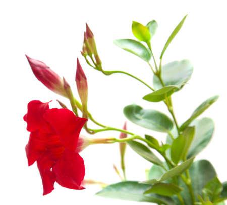 dipladenia: rosso Mandevilla (Dipladenia), isolato su bianco