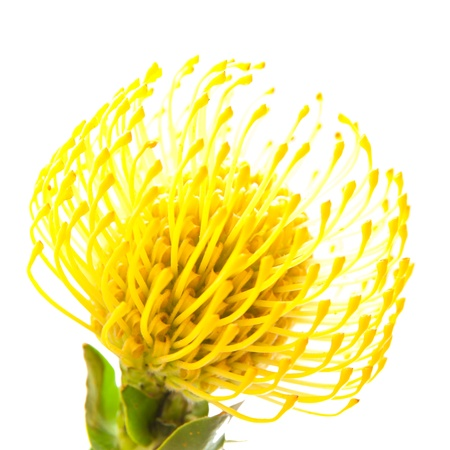yellow protea isolated on white background background