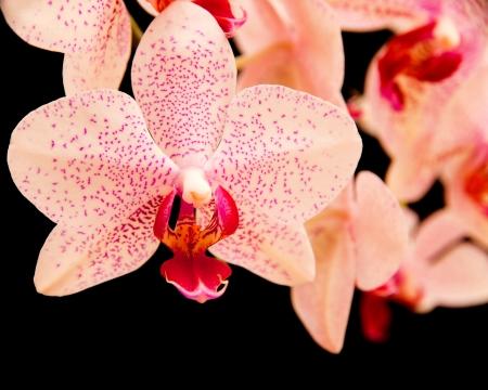hybridization: phalaenopsis orchid on black Stock Photo