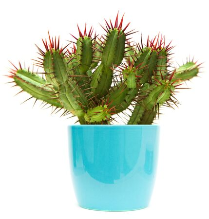 potted plant cactus: green cactus with red thorns, isolated on white Stock Photo
