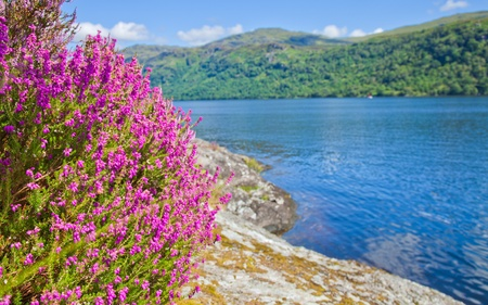 Loch Lomond, heather flowering Stock Photo - 19534735