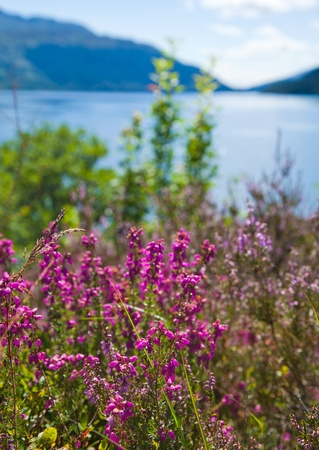 loch lomond: Loch Lomond, heather flowering