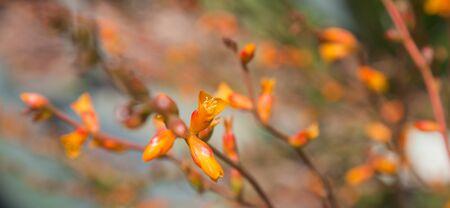 dyckia: orange-yellow flowers of Dyckia remotiflora
