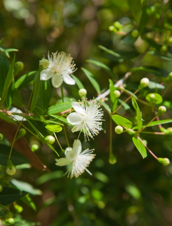 Myrtus communis, common myrtle also called true myrtle photo