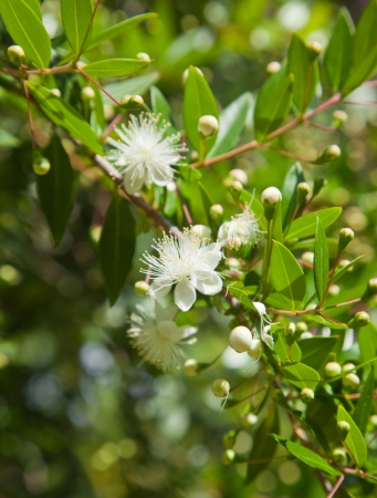 true myrtle: Myrtus communis, common myrtle also called true myrtle